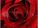 Uma rosa vermelha pra você 1.0