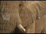 Elephant Screen Saver 1.0