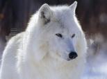 Imagen de Polarwolf