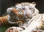 Tigres brincando
