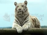 Imagen de Tigre albino