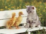Chat et canards