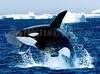 TÉLÉCHARGER orque la baleine tueuse