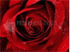 DOWNLOAD a red rose for you