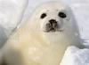 DOWNLOAD foca arpa bebe