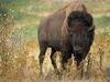 DOWNLOAD bison screen saver