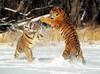 SCARICARE tigri giocando