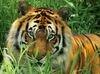 SCARICARE tigre in agguato sfondo