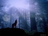 Download wolf in a forest