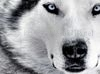 SCARICARE faccia da lupo