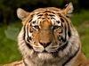 TÉLÉCHARGER le grand tigre siberien
