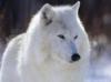 TÉLÉCHARGER loup blanc