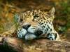 DOWNLOAD leopard