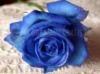 SCARICARE rosa blu
