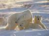 Download osos polares
