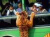 DOWNLOAD tigre atacando autobus