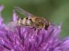 Download abelhas