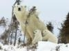Download mamae ursa polar
