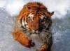 Download tigre nadando