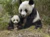 Download mamae panda