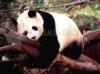 Download urso panda dormindo