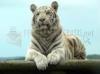 Download tigre albino