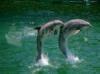 DOWNLOAD fondo de escritorio delfines