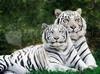 SCARICARE tigri albini