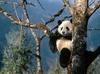 SCARICARE orso panda sul albero