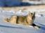 Lobo en la nieve