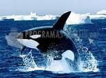 Pantallazo Orca, la ballena asesina
