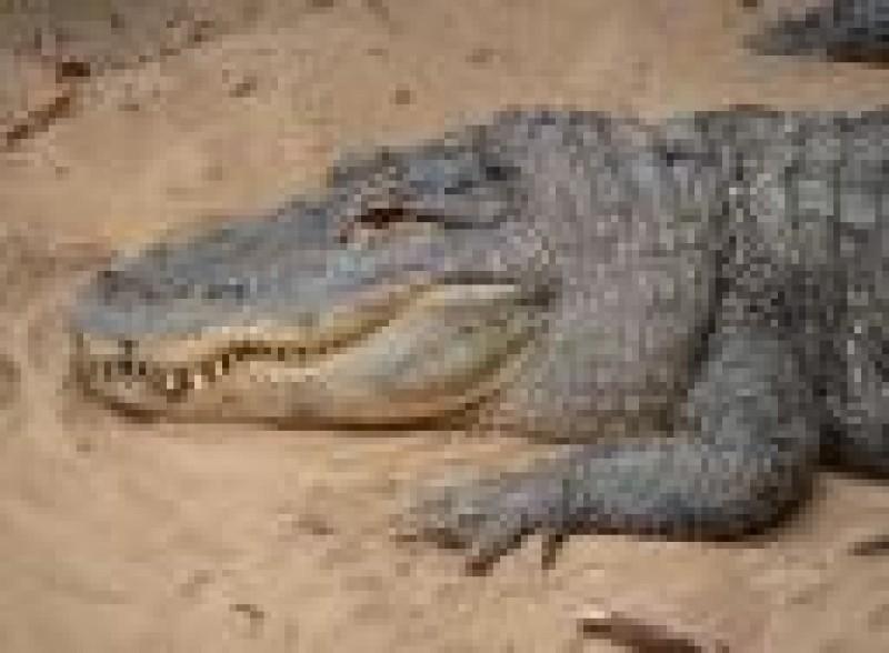 Pantallazo Alligator Screen Saver