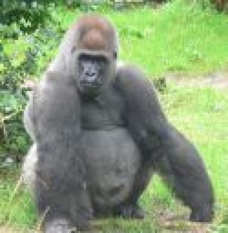 Pantallazo Gorilla Screen saver