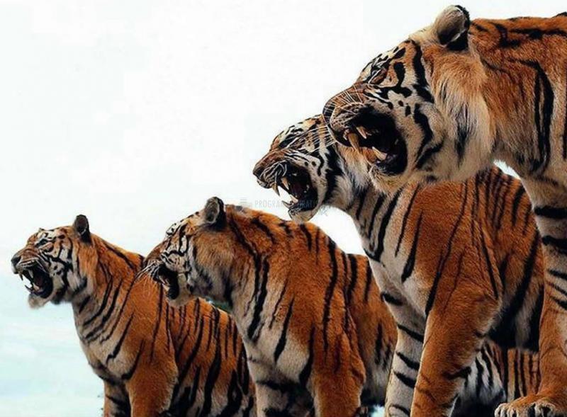 Pantallazo Tigres Enojados