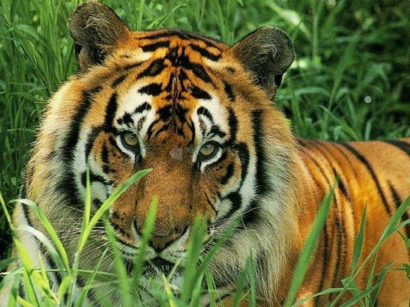 Pantallazo Tigre acechando