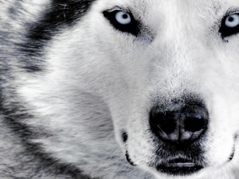 Pantallazo Cara de lobo