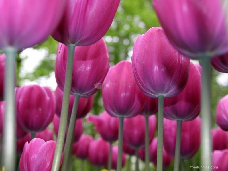 Pantallazo Tulipanes Rosas
