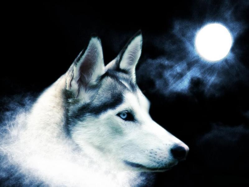 Pantallazo Lobo a la luz de la luna