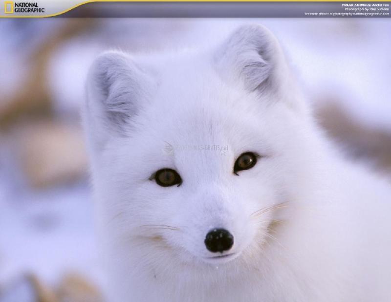 Pantallazo Polar Animals Screensaver