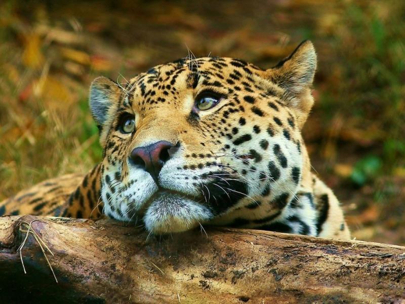 Pantallazo Leopardo