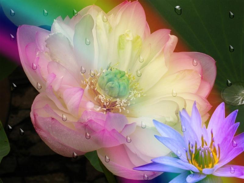 Pantallazo Flor de loto