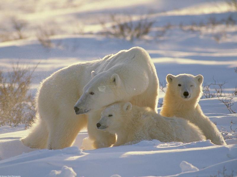 Pantallazo Osos polares