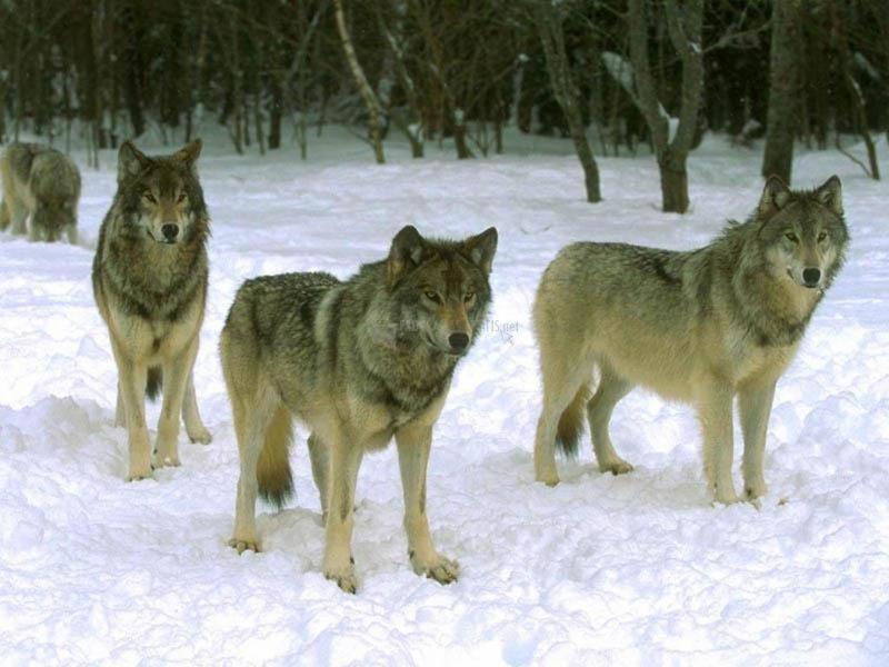 Pantallazo Lobos en la nieve