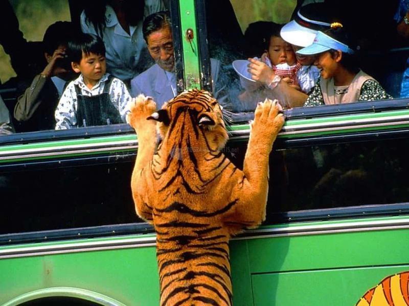 Pantallazo Tigre atacando autobús