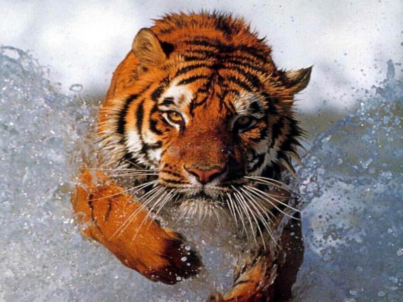 Pantallazo Tigre nadando