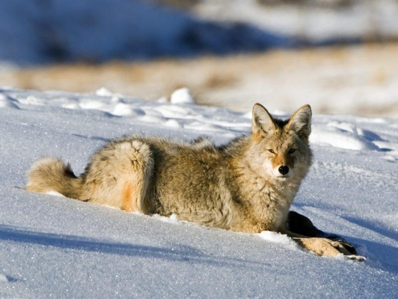 Pantallazo Lobo en la nieve
