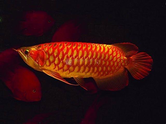 Pantallazo Free Goldfish Screensaver