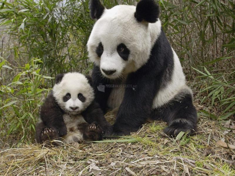 Pantallazo Mamá panda