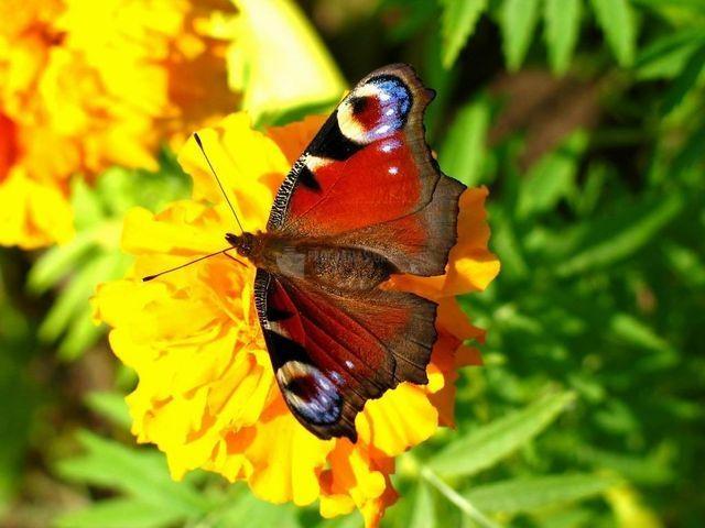 Pantallazo Graceful Butterflies Free Screensaver