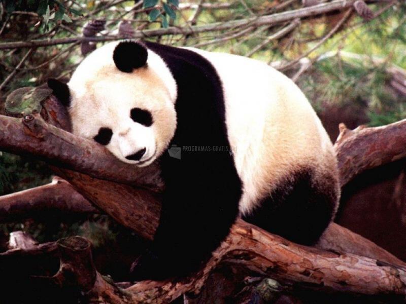 Pantallazo Oso panda durmiendo